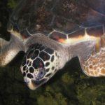 Tartaruga caretta caretta, Siracusa è la provincia siciliana con il maggior numero di nidi